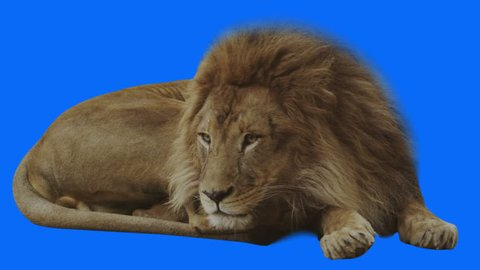 Lion changing hands while resting. Blue screen and alpha channel included. Shot 4k with red camera.