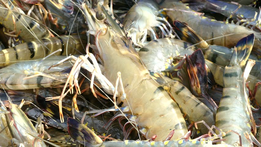 Harvesting Tiger Prawns Form Commercial Stock Footage Video (100%  Royalty-free) 30932275 | Shutterstock