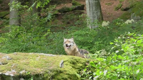 Gray (or Grey) Wolves (Canis lupus) in the Bayerischer Wald National Park in Bavaria, Germany.