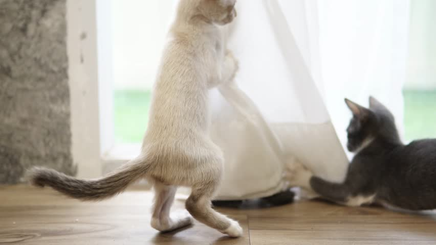 cheeky kitten playing,funny and playful animal,group of domestic cat playing with curtain.
