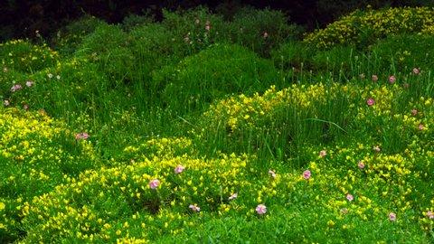 Flowers of Erizon , Ordesa y Monte Perdido National Park, Huesca province, Aragon, Spain, Europe