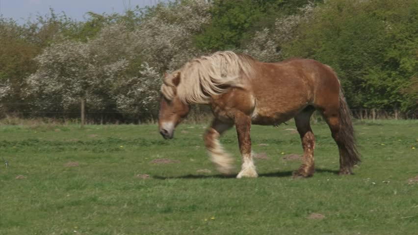 draft horse walking in pasture, spring.  Large herbivore in typical Dutch river landscape with flowering blackthorn in background.