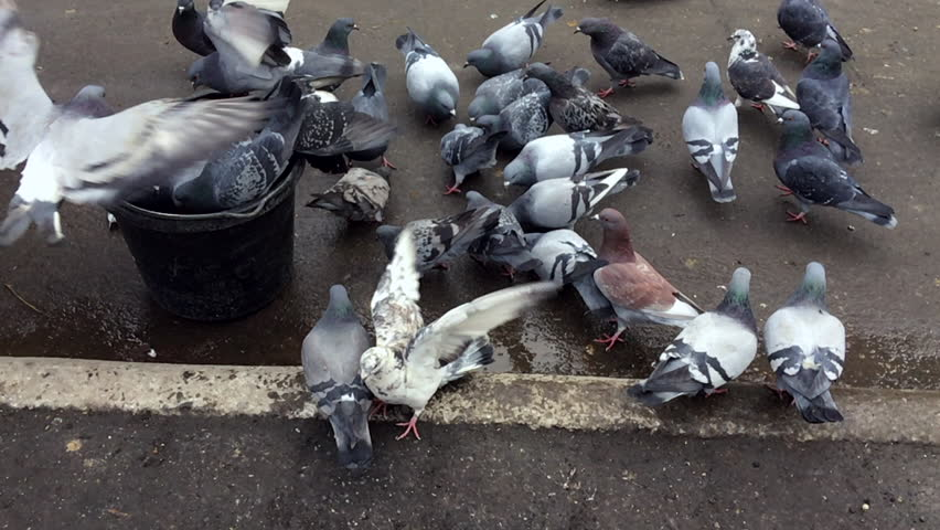 New York City pigeons eating from the feed bucket of a horse in Central Park | Shutterstock HD Video #30986368