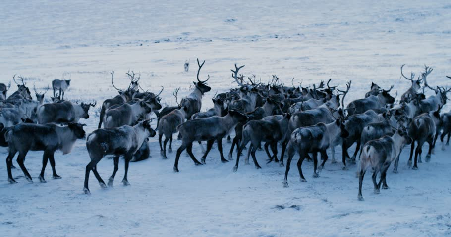 Aerial view of herd of reindeer, which ran on snow in tundra. Red Epic. Slow motion. 4k #30998845