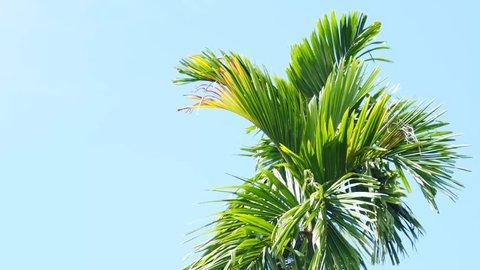 Areca nut palm on sky blue