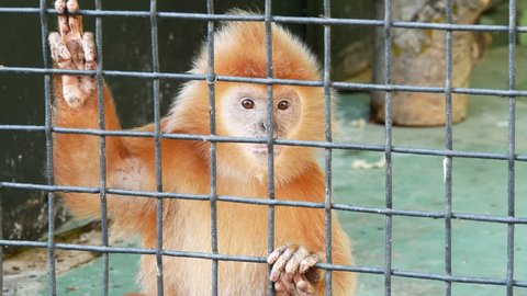 Red langur in the zoo.