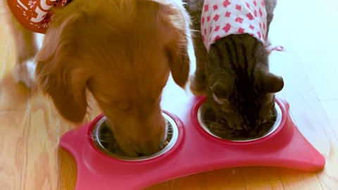 Close up of a dog and cat eating side by side.