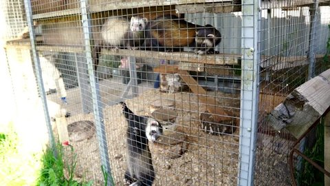 Dog jack russell terrier barking at european polecat in cage. Hunting dog attacking polecat in cage. Mustela putorius