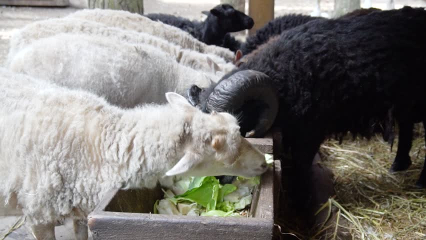 Sheeps eating at farm