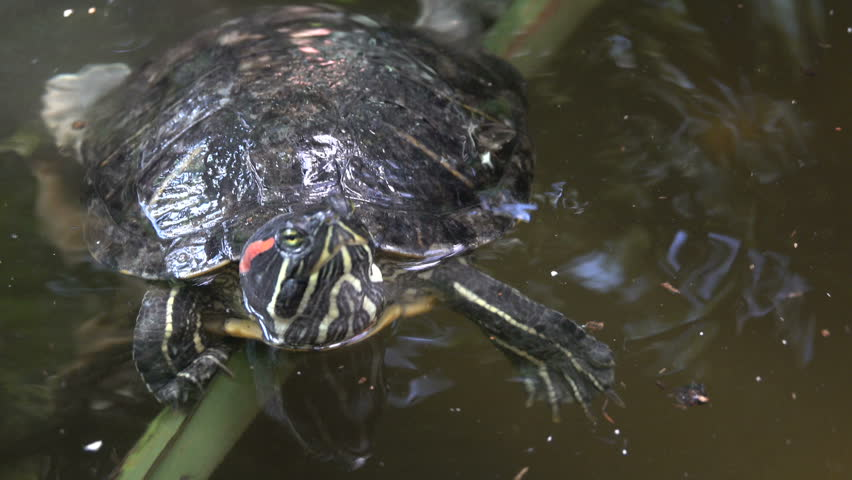 River turtle closeup swings on a branch in the water | Shutterstock HD Video #31149235