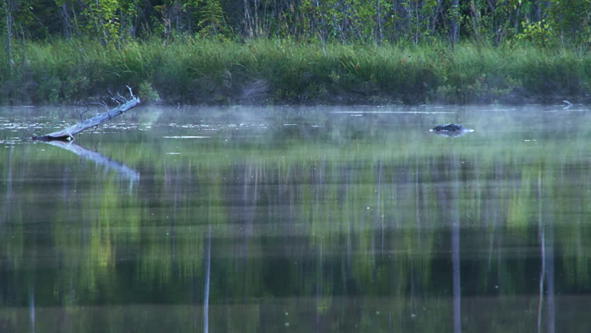 Fish jump at bugs as a low, subtle mist wanders wraithlike over the smooth dark waters of an Alaskan forest lake in the evening. | Shutterstock HD Video #3115393