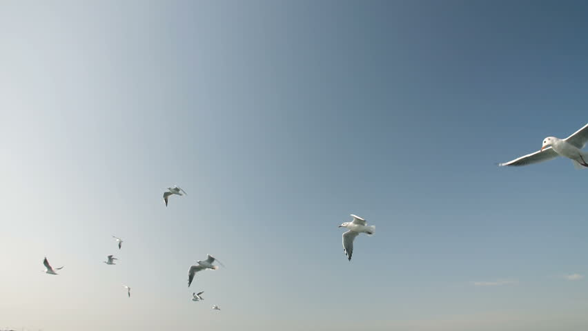 Flock of Seagulls | Shutterstock HD Video #31165915
