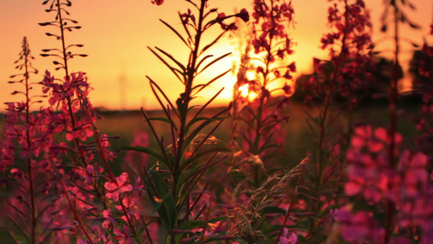 sunset through some flowers