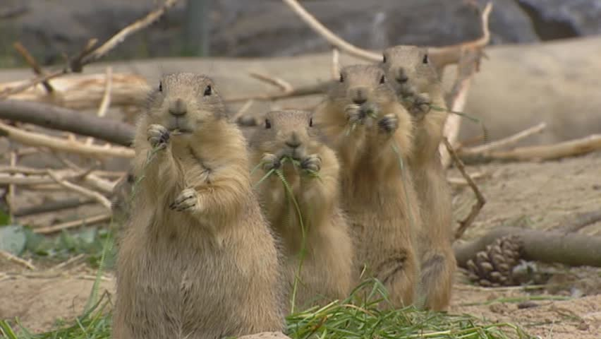 Black-tailed Prairie Dogs, cynomys ludovicianus, feed on grass
