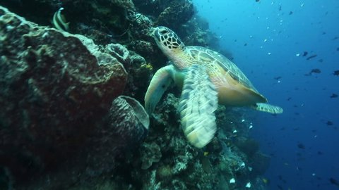Green sea turtle swims through thousands of reef fish along coral reef wall