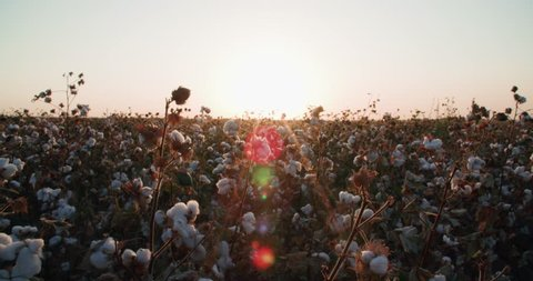 a field of cotton ready to harvest at sunset