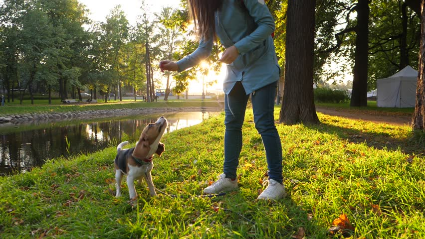Young beagle dog readily stand on hind legs and sit vertically, owner woman give snack as reinforcement for obedience. Slow motion shot, beautiful sunny evening park area, green grass and dark trees