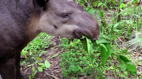 CIRCA 2010s - Central America - A tapir chews on vegetation in the forest.