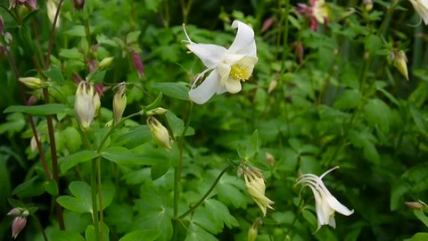 Flowers Aquilegia vulgaris or European Columbine in Wind