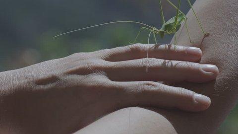 Big Green Bush Cricket, True Katydid, Exploring With Caution Woman's Hand
