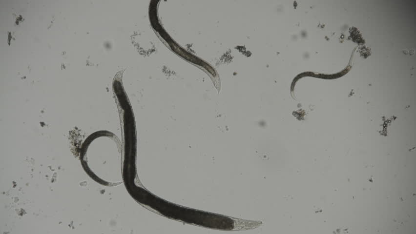 entomopathogenic nematodes thesis The secret lives of nematodes using entomopathogenic nematodes in the classroom author: samantha orchard samantha_orchard@yahoocom thank you to my thesis.