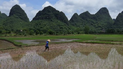 YANGSHUO, CHINA - JULY 2017 - Man working as peasant in paddy field, planting rice plants in Yangshuo countryside, Guangxi, China, Asia. Chinese farmer at work. Chinese agriculture and farming