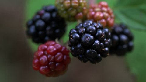 Organic ripe blackberry in a natural environment