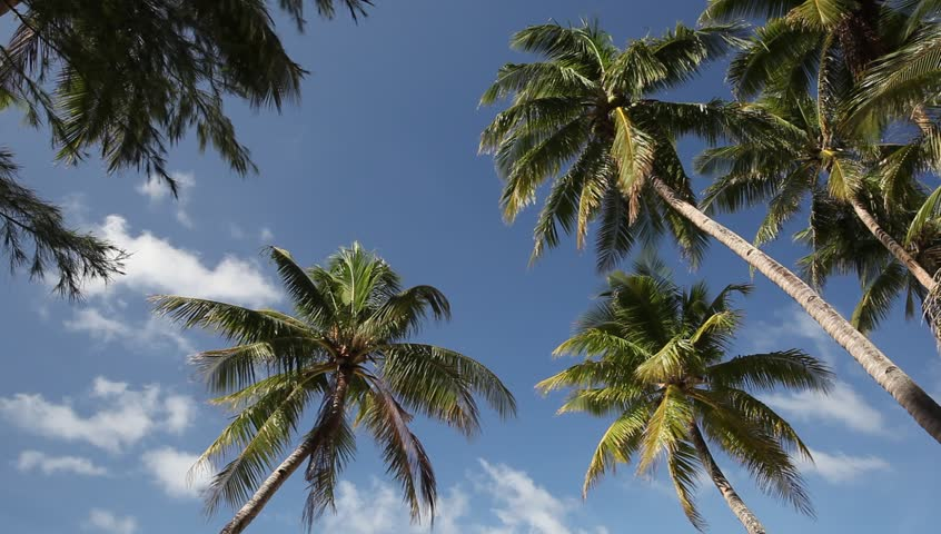 Top of coconut palm on sky background