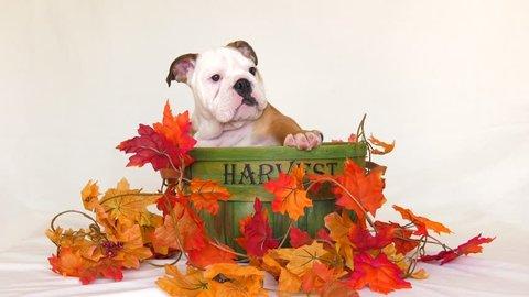 cute puppy english bulldog in autumn harvest basket