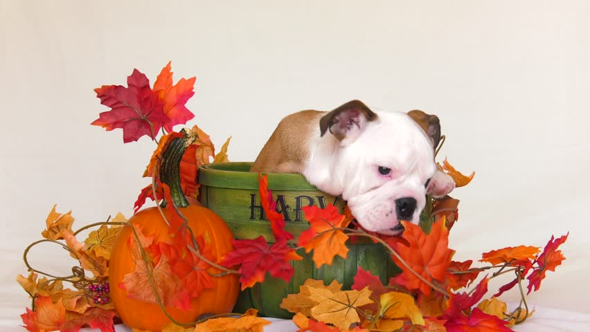 english bulldog puppy in autumn basket chews on everything