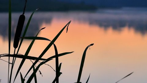 Silhouette bulrush on sunset river, stem growing near water. Fog over the river.
