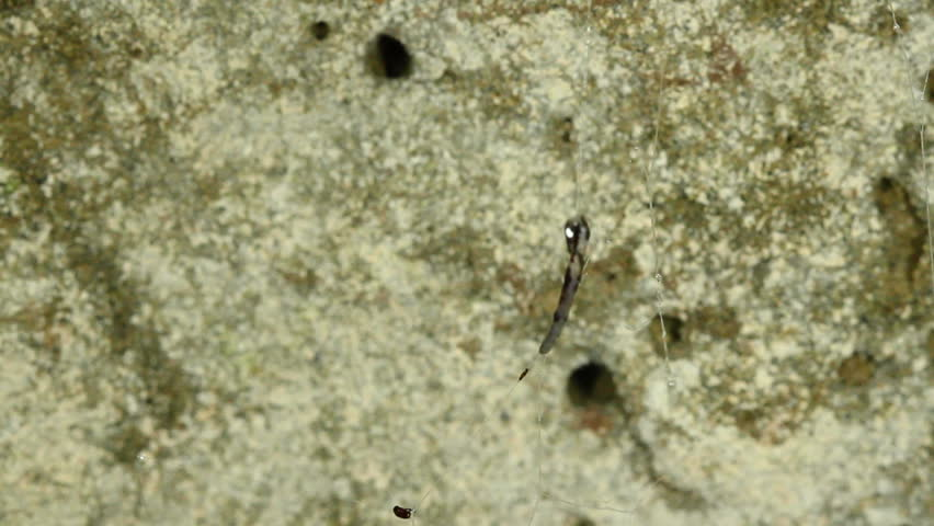 Bioluminescent Cave Dwelling Fungus Gnat Larva Hanging From The Roof Of A  Cave In The Ecuadorian Amazon. A South American Relative Of The New Zealand  Glow ...