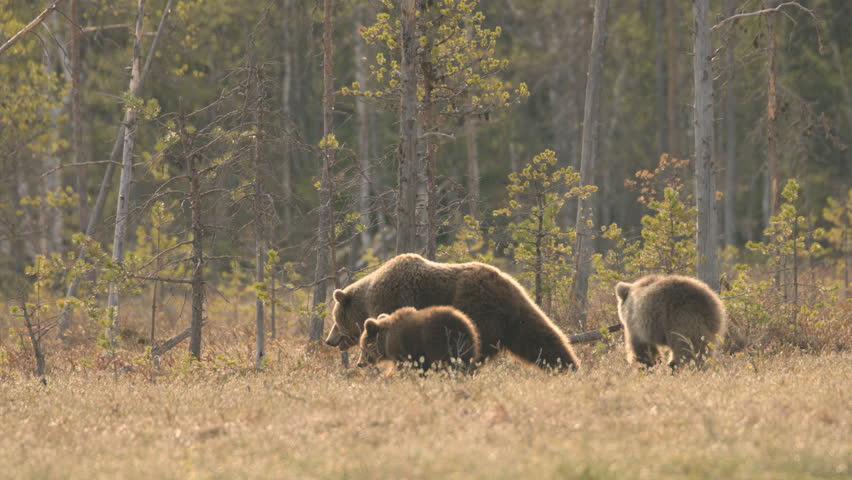 wild european brown bear in finland