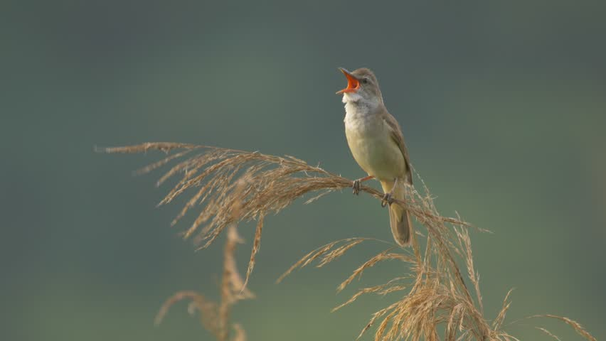 Great reed warbler (Acrocephalus arundinaceus) singing - ungraded footage