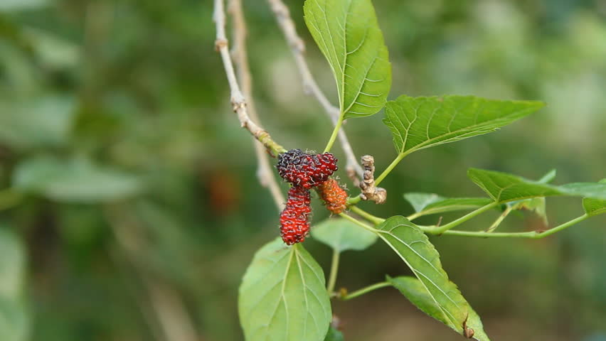 Mulberry fruit in hand | Shutterstock HD Video #31723465