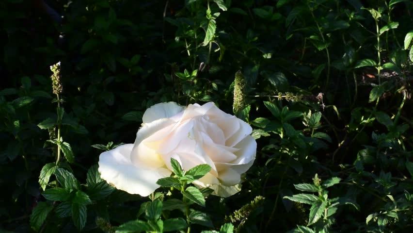 Nice rose in my garden | Shutterstock HD Video #31748800