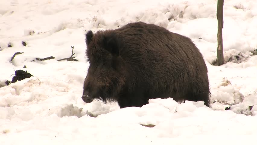 Wild boar in snow passing closely