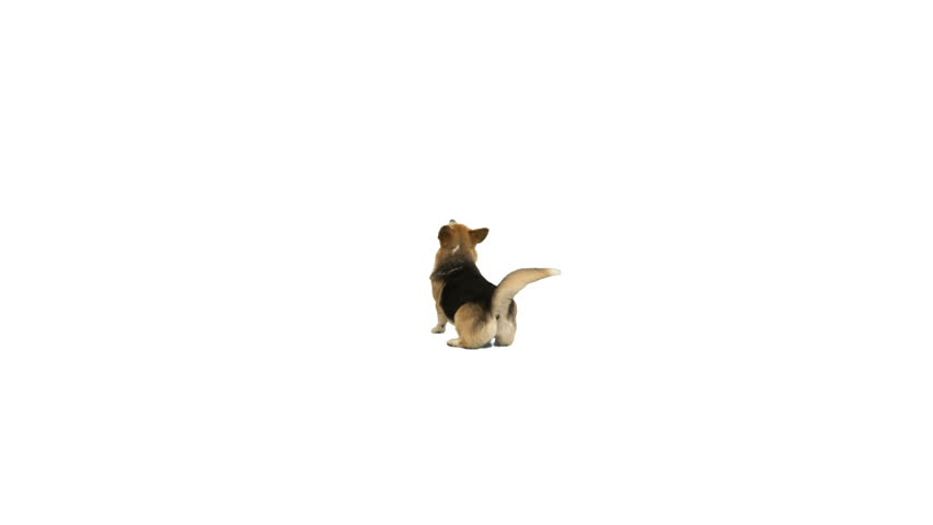 dog is dancing on a white background