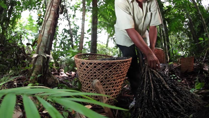 Taking out Acai - Amazonas