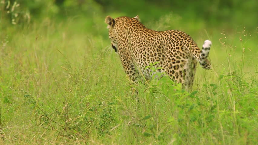 Male leopard (Panthera pardus) walking away.