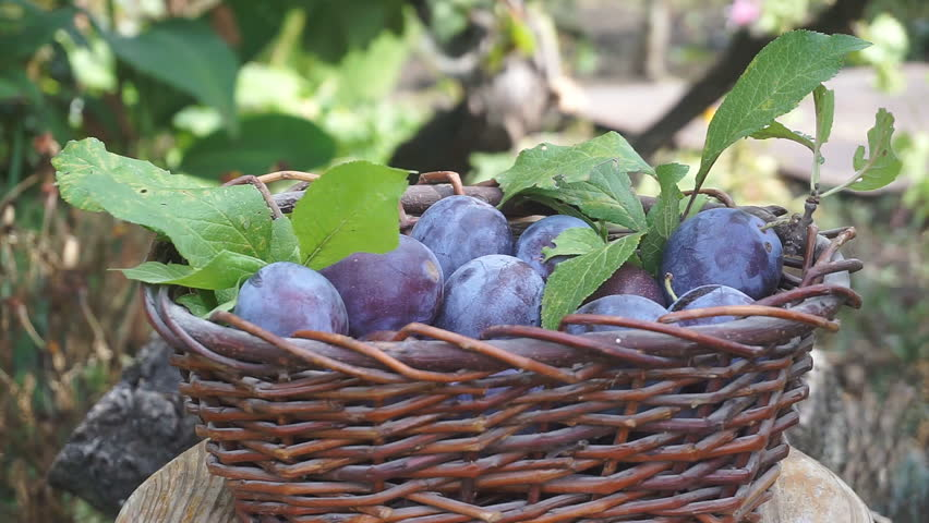 Basket with plums. Blue plums poured into the basket. Harvesting of plums.