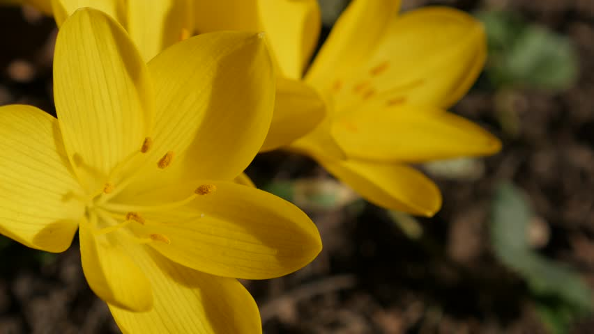Yellow crocus flower stigmas and petals 3840X2160 UltraHD footage - Close-up plant lily-of-the-field 4K 2160p 30fps UHD video