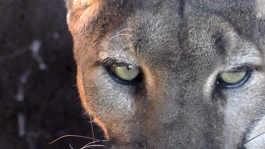 Mountain lion face close up - photo#6