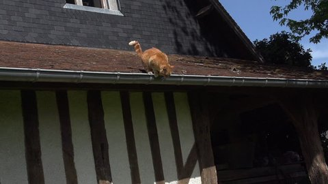 Red Tabby Domestic Cat leaping from Roof, Normandy, Slow Motion