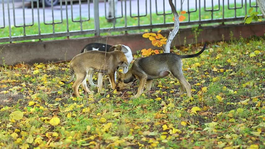Closeup view of cute carefree four puppies of crossbreed dogs playing outside in city street on beautiful autumn day. Group of small funny animals biting branch of tree. - HD stock video clip