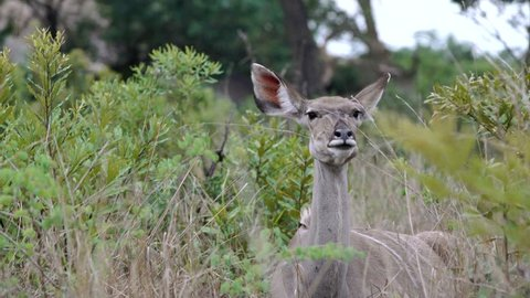 a female kudu chews cud towards camera