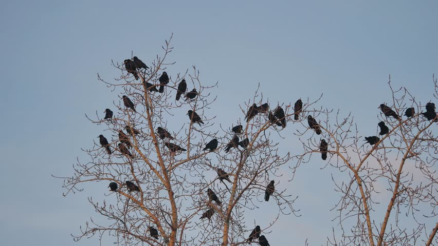 flock of birds autumn taking off from a tree, a flock of crows black bird dry tree. birds ravens in the sky
