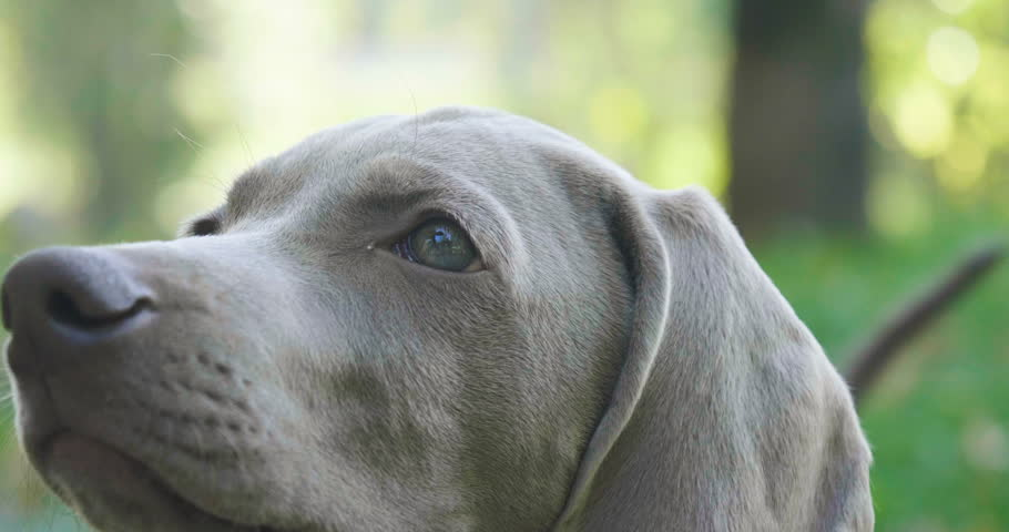 Portrait of a weimaraner breed puppy looking into the room. Concept of: animals, purebred, weimaraner, dog puppies