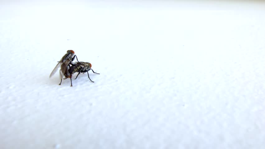 Housefly mating on the wall