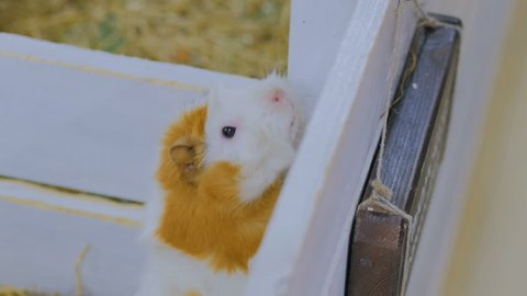 Guinea pig near white wooden fence in contact zoo